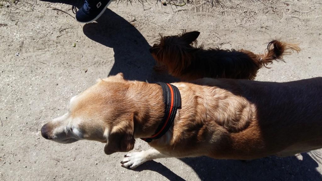 Mon chien marley(labrador) m'aide pour resocialiser la petite jody